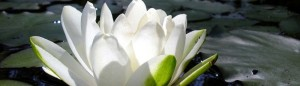 white_lotus_flower-2-1000x288